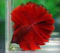Red rosetail- makes me thing of a spanish dress. beautiful!