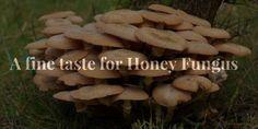 A fine taste for Honey Fungus - Diets USA Magazine
