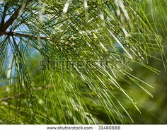 Pine needles in spring