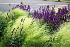 grasses and purple perennials in curb side street garden by Thomas Rainer via Phyto Studio When you meet landscape architect Thomas Rainer he comes across as a pleasant, mild mannered fellow. not at all the type to be traveling around the world Landscape Architecture, Landscape Design, Architecture Design, Purple Perennials, Sun Perennials, Mexican Feather Grass, Stipa, Xeriscaping, Garden Cottage
