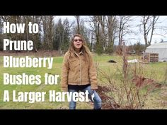How to prune a blueberry bush for a larger harvest. Learn the best time of year to prune blueberry bushes, including pruning young blueberry plants and older mature plants. Blueberry Bush Care, Blueberry Plant, Blueberry Farm, Blueberry Ideas, Pruning Blueberry Bushes, Growing Blueberries, Soil Improvement, Tomato Seeds, Old Mature
