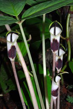 Arisaema averyanovii, a newly discovered tropical species from Vietnam