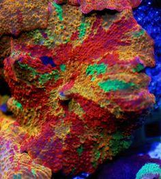 Reef Raft shroom from Facebook (Jam LaoMil)