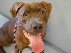 ORBIT PULLED BY POUND HOUNDS RES-Q - 08/22/15 - TO BE DESTROYED - 08/22/15 - ORBIT – #A1047293 - Urgent Manhattan - MALE BR BRINDLE AM PIT BULL TER MIX, 1 Yr 3 Mos - STRAY NO HOLD Intake Date 08/09/15 Due Out 08/12/15