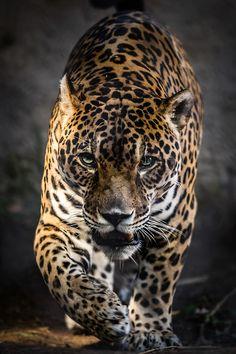 Walk of the Jaguar (standard Jag) by Stephen Moehle
