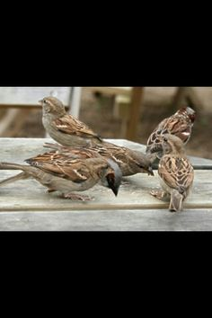 Common british house sparrows. They r not the biggest boldest birds but I like them a lot.