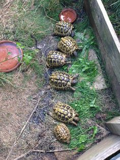 hermans tortoises.