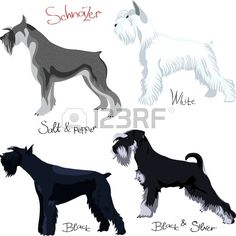 schnauzer colors: white, black, salt and pepper, black silver, isolated on white background
