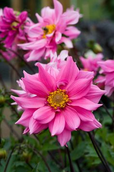 Peony Flowering?? Dahlia 'Honour Francis' (aka 'Honor Frances)
