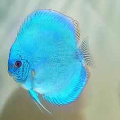 Oscar Fish, Photos Of Fish, Discus Fish, Fishing World, Freshwater Aquarium Fish, Fish Tanks, Cichlids, Fish Art, Sea World