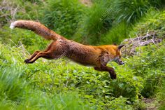 Fox Running Photos And Pictures Dog Breed Fox Fox - Fox Running Photos And Pictures Meowlogy Themeowlogy Dog Breed What Others Are Saying If A Trim Trimming Service Has Been Present In Your Community For Some Moment Picture Of Red Fox Jumping S Nature Animals, Animals And Pets, Cute Animals, Wild Animals, Baby Animals, Beautiful Creatures, Animals Beautiful, Fox Running, Fox Stock