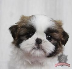 I love shih tzu breed, they are so gentle & sweet! I have one of my own.