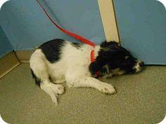 Pueblo, CO - Australian Shepherd Mix. Meet ABBY CADABBY, a puppy for adoption. http://www.adoptapet.com/pet/13527134-pueblo-colorado-australian-shepherd-mix