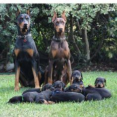 #dobe #doberman #dobermanpinscher #dobermaninstagram #puppies #dobermanpuppies