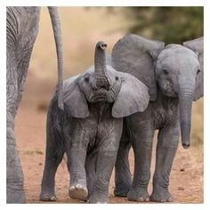 - Hold your trunk up high like this little guy! 🐘😊 phenomenal photo creds to Large Animals, Cute Baby Animals, Animals And Pets, Funny Animals, Nature Animals, Wildlife Nature, Wild Animals, Elephants Photos, Save The Elephants