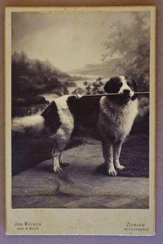 Cabinet photograph of a beautiful dog, similar to St. Bernard