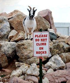Las cabras no saben leer