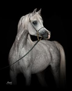 Magidaas Rose RCA (Mishaal HP x Belovedds Rose) 2009 grey SE mare bred by Rock Creek Arabians, Texas