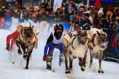 Sami Reindeer Races