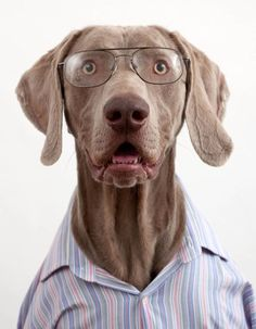 Fran Veale dog portraits, dogs wearing clothes and glasses, funny dog photos, dogs dressed in clothing Animals And Pets, Funny Animals, Cute Animals, Weimaraner, Funny Dogs, Cute Dogs, Dressed Up Dogs, Dog Dresses, Dog Coats