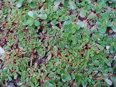 Šrucha zelná 4, Foto: Korn, Herbalism, Fruit, Plants, Pictures, Herbal Medicine, Plant, Planets