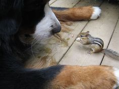 Jethro - Bernese Mountain Dog Keen could only wish our chipmunks got this close. Maybe he should stop chasing them!