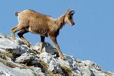 Fauna en el Parque Nacional de Ordesa y Monte Perdido. Rebeco