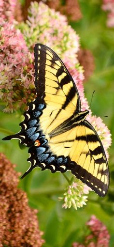 The Eastern Swallowtail (Papilio glaucus). One of the most beautiful butterflies in the world.