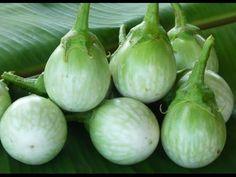วิธีการปลูกมะเขือเปราะEggplant