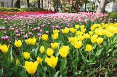 横浜公園のチューリップ。 http://eco.fmyokohama.co.jp/event/26625