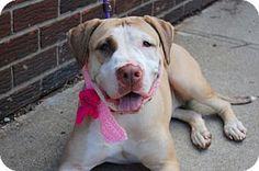 10/3/16 Prospect, CT - Labrador Retriever/American Pit Bull Terrier Mix. Meet Suri, a dog for adoption. http://www.adoptapet.com/pet/16702637-prospect-connecticut-labrador-retriever-mix