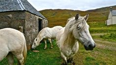 Highland Ponies ... Scotland via NatGeo