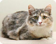 Bellingham, WA - Domestic Mediumhair. Meet Nora a Cat for Adoption.
