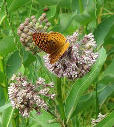 Butterfly on milkweed