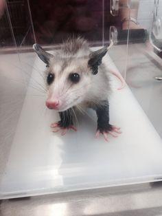Baby possum :)