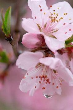 Фото Веточка вишни с листочками и цветочками, на лепестках капли росы