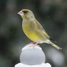 fotograaf: pieter b. Greenfinch, Birds In The Sky, Amphibians, Bird Feathers, Beautiful Birds, Cute Animals, Cold Case, Wings, Templates