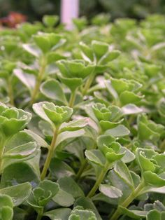 Sedum spurium John Creech |  Stonecrop | Tight rosettes of blue-green leaves form ground hugging mats with many pink starry flowers.Tolerates occasional to light foot traffic. Excellent choice for rock garden, between flagstones, or as an attractive groundcover.