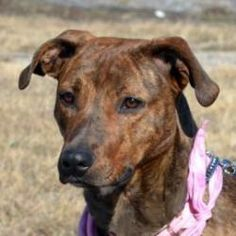 Cassy is an adoptable Plott Hound Dog in Elk Grove Village, IL. Phone for Bio: 630-456-8159 Email for Bio: tiffanystar@att.net EST DOB: 4/1/11 Pretty Cassy is such a sweet and loving young lady! Shes ...