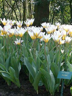 <3 Tulip 'Ice Stick'