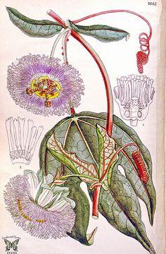 Passiflora garckei (as Passiflora pruino) Curtis's Botanical Magazine, vol. 125 [ser. 3, vol. 55] (1899) [niet leesbaar]