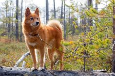hunting dog on the fallen pine Photos hunting dog on the swamp by rodimov