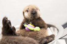 Sea otter pup 681 is weighed with her toys (part two) - November 18, 2014 - Lots more at today's Daily Otter post: http://dailyotter.org/2014/11/18/sea-otter-pup-681-is-weighed-with-her-toys-part-two/ !