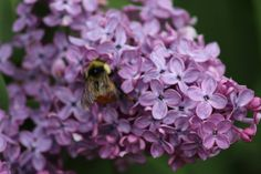 Lilac and Bumble Bee Lilac, Bee, Make It Yourself, Flowers, Plants, How To Make, Photos, Honey Bees, Pictures