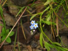 Unidentified little blue flowers of the Alpine Lakes Wilderness in Washington State. Photo by Stephanie Lyon of Seattle, WA.