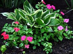 Hostas and Impatiens make a nice combination, and are good companion plants. Hostas and Impatiens ma Garden Shrubs, Shade Garden, Lawn And Garden, Summer Garden, Garden Planters, Indoor Garden, Outdoor Plants, Outdoor Gardens, Outdoor Flowers