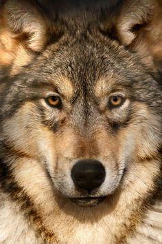 beautiful-wildlife:  Gray WolfbyScott Denny