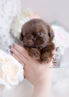 Toy Teacup Puppies For Sale & Teacups, Puppies & Boutique & Part 5 Source. The post Toy Teacup Puppies For Sale Shih Tzus, Shih Tzu Hund, Perro Shih Tzu, Shih Tzu Puppy, Pet Puppy, Pomeranian Puppy, Husky Puppy, Shitzu Puppies, Cute Puppies