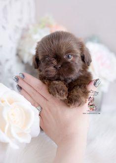 chocolate-shih-tzu-puppy-320