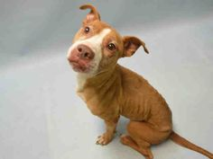 SAFE - 12/20/15 - TO BE DESTROYED - 12/20/15 - QUASAR - #A1059938 - Super Urgent Brooklyn - FEMALE BROWN/WHITE AM PIT BULL TER, 8 Yrs - STRAY - NO HOLD Intake 12/08/15 Due Out 12/11/15 - UNDERWEIGHT
